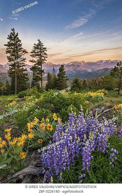 Lupine and balsamroot with Stuart Range mountains in the background; Tronsen Ridge Trail above Blewett Pass, Washington