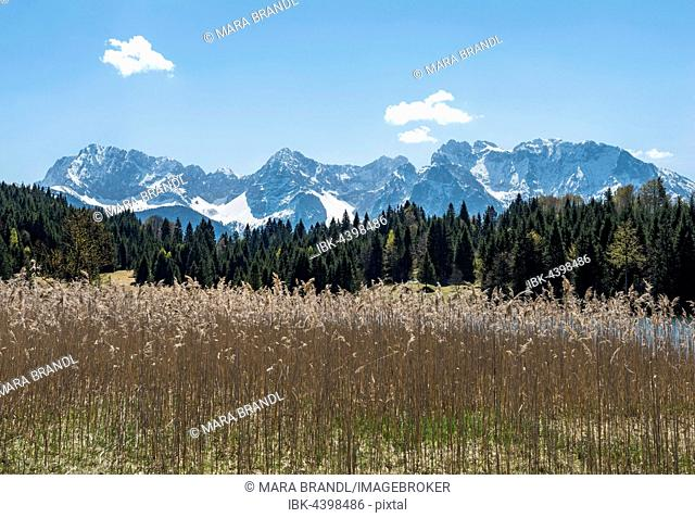 Reeds at Geroldsee, Wagenbrüchsee and Northern Karwendelkette, Werdenfelser Land, Upper Bavaria, Bavaria, Germany