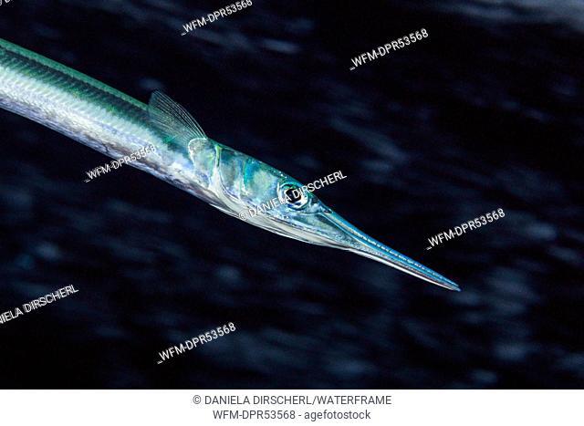 Needlefish, Tylosurus sp., Florida Islands, Solomon Islands