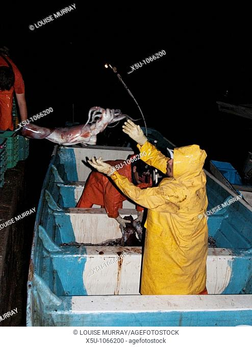 Unloading the catch from the small fleet of about 40 pangas at the end of the night's fishing  Each small boat will average 1 - 1 5 tonnes of squid  The record...