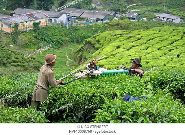 Workers in a tea plantation, Cameron Highlands, Malaysia, Southeast Asia, Asia