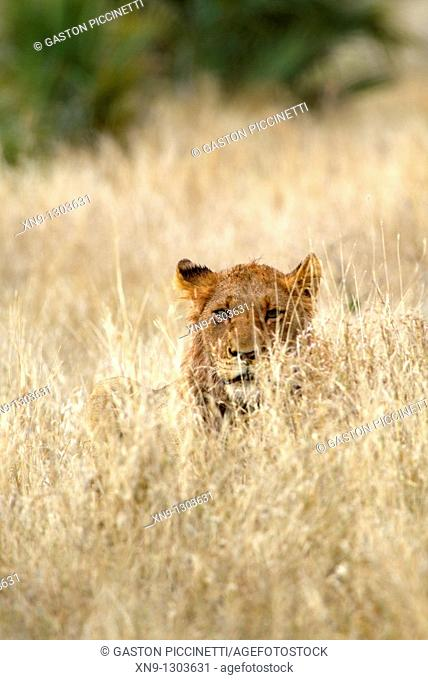 African Lion Panthera leo - Young, in the bush, Kruger National Park, South Africa