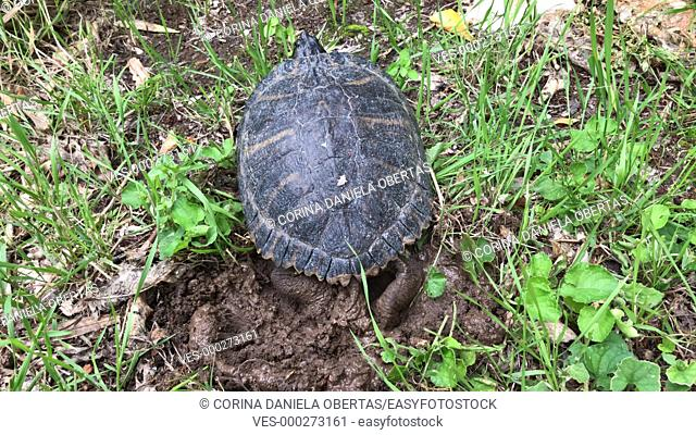 Yellow ears turtle (Trachemys scripta scripta) laying eggs in a whole in the ground