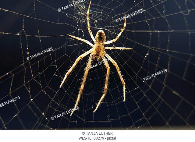 Bridge spider Larinioides sclopetarius, close up