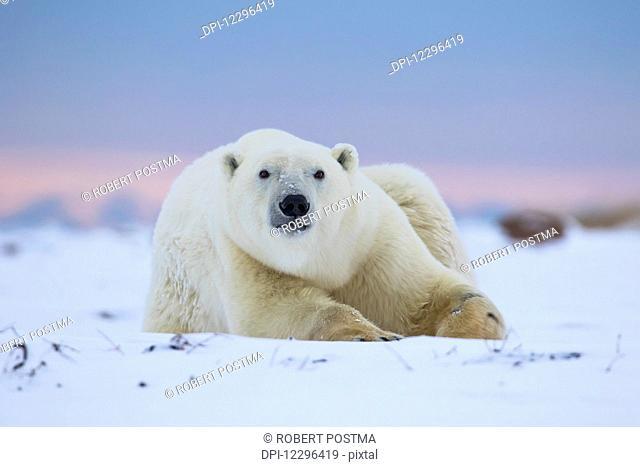 Polar bear (ursus maritimus) along the Hudson Bay coastline waiting for the bay to freeze over; Churchill, Manitoba, Canada