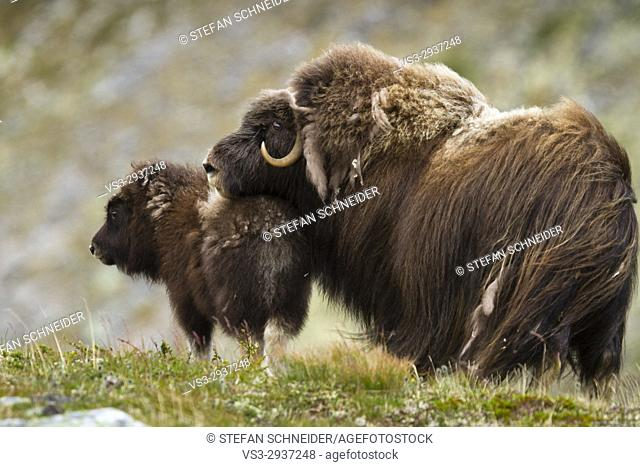 Norwegian Musk ox with offspring, Dovrefjell National Park, Norway