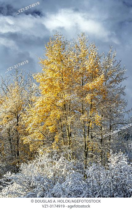 Grand Teton National Park Fall Aspen in snow. . . Sunrise reveals a landscape surprise as a brief fall snowstorm has passed by during the night covering fall...