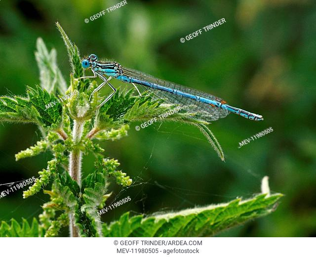 White-legged damselfly - Male - resting on nettle - Lincolnshire