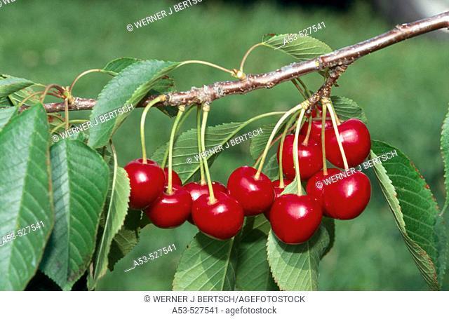 Cherries. Michigan, USA