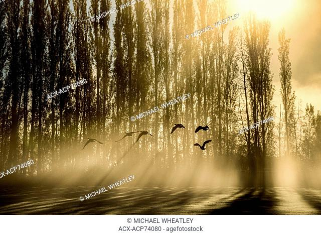 Canada geese at sunrise through fog, (Godbeams) Burnaby Lake Regional Park, Burnaby, British Columbia, Canada