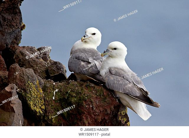 Northern Fulmar (Arctic Fulmar) (Fulmarus glacialis) pair, Iceland, Polar Regions