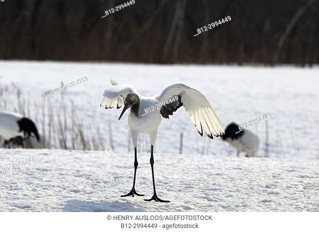 Japanese crane, Red-crowned crane (Grus japonensis), Young dancing, Japan