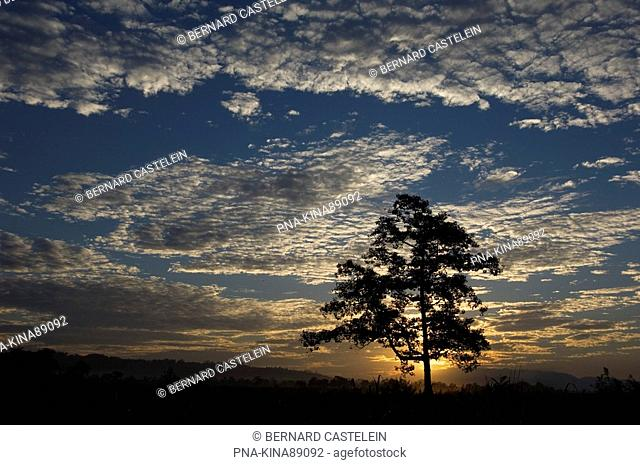 silk cotton tree Ceiba pentandra  - Kaziranga National Park, Assam, India, Asia