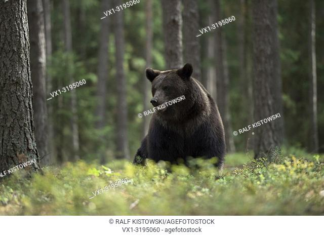 Attentive looking European Brown Bear (Ursus arctos) sits in the undergrowth of boreal coniferous woods