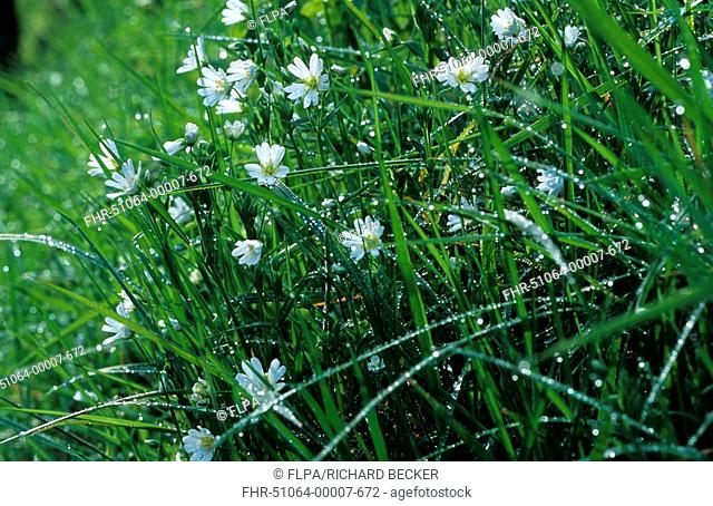 Greater Stitchwort Stellaria holostea flowering in long grass, Llwynderw, Powys, Wales