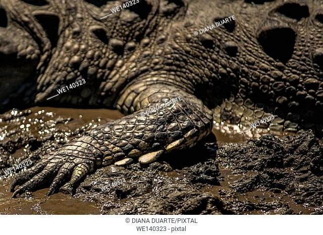 'American crocodile (Crocodylus acutus)'. The sex of a crocodile is affected by egg temperature during incubation, which is referred to as temperature-dependent...