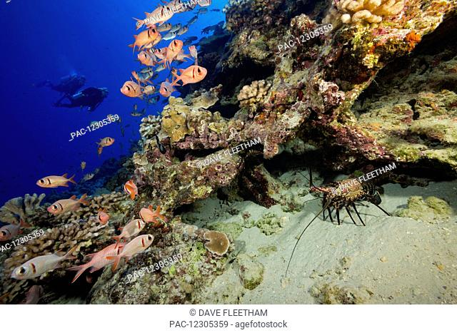 The banded spiny lobster (Panulirus marginatus) an endemic species is joined with schooling bigscale soldierfish (Myripristis berndti) in this reef scene with...