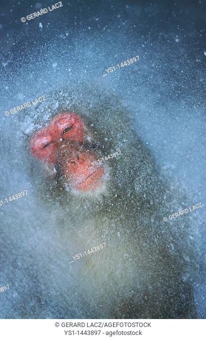 JAPANESE MACAQUE macaca fuscata, ADULT STANDING IN HOT SPRING WATER, HOKKAIDO ISLAND IN JAPAN