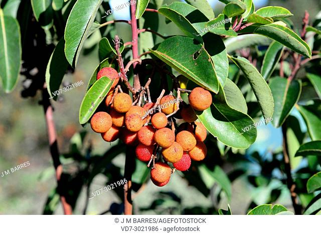 Greek strawberry tree (Arbutus andrachne) is a small tree native to Greece and Asia. This photo was taken in Dilek Peninsula National Park, Turkey