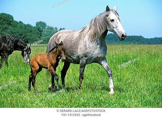 LUSITANO HORSE, MARE AND FOAL WALKING THROUGH MEADOW