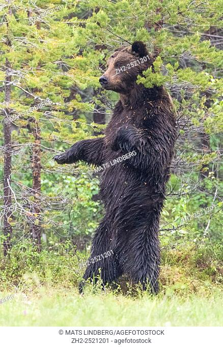 Brown bear, Ursus arctos, standing on his back legs and scratching his back against a pine tree, Kuhmo, Finland