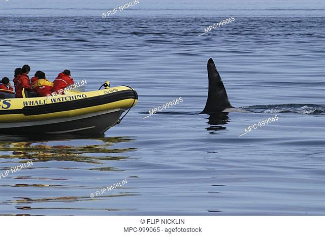 Killer Whale Orcinus Orca,whale watching boat, Southeast Alaska