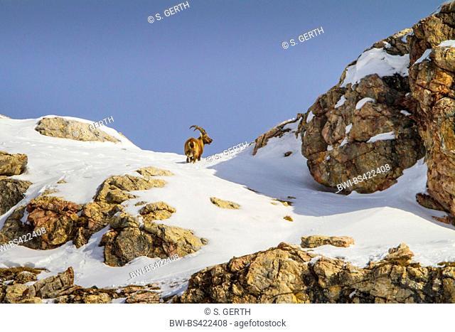 Alpine ibex (Capra ibex, Capra ibex ibex), standing in the mountains on a snow-covered rocky ridge , Switzerland, Grisons, Engadine