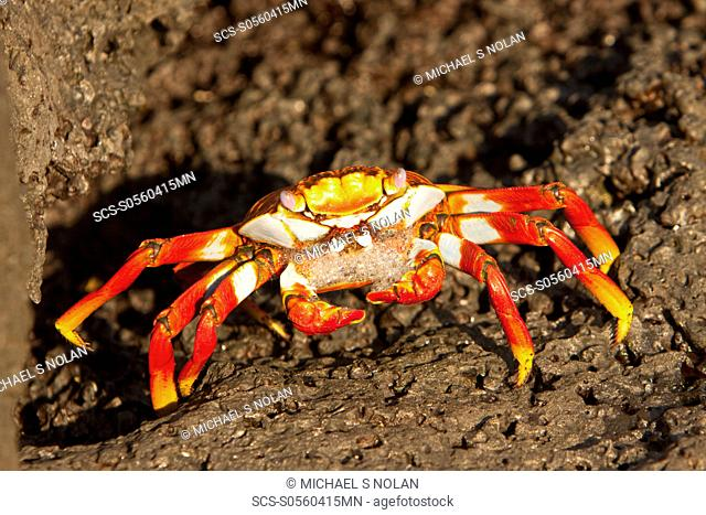 Gravid Sally lightfoot crab Grapsus grapsus with eggs in the litoral of the Galapagos Island Archipeligo, Ecuador Pacific Ocean MORE INFO: This bright red crab...