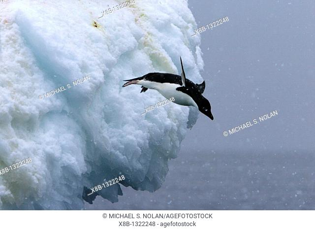 Adult Adelie penguins Pygoscelis adeliae leaping off of an iceberg in a snowstorm at Paulet Island in the Weddell Sea