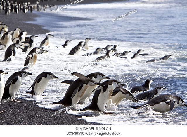Chinstrap penguin Pygoscelis antarctica colony on the Antarctic Peninsula There are an estimated 2 million breeding pairs of chinstrap penguins in the Antarctic...