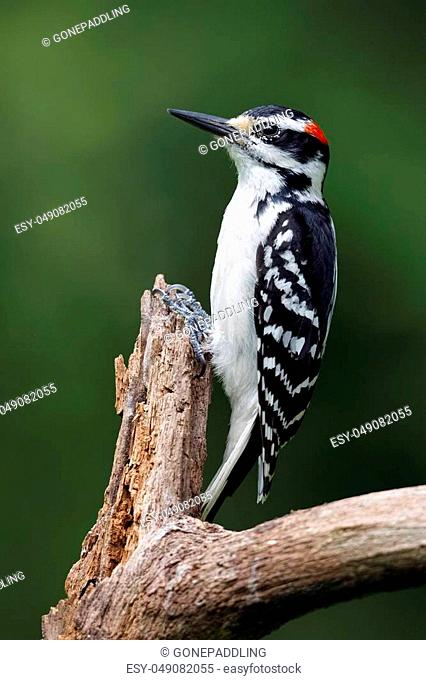 Male Hairy Woodpecker (Leuconotopicus villosus) perched on a dead tree branch