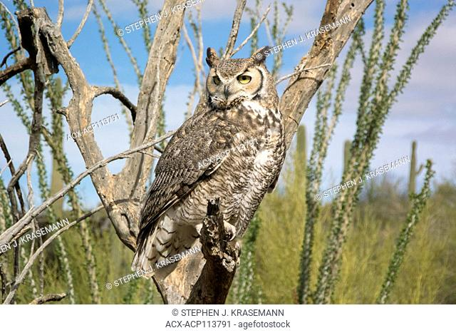 Great Horned Owl (Bubo virginianus), perched on dead tree branch at the Arizona Sonoran Desert Museum, Tucson, AZ USA