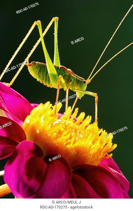 Striped Bush-cricket, Leptophyes albovittata