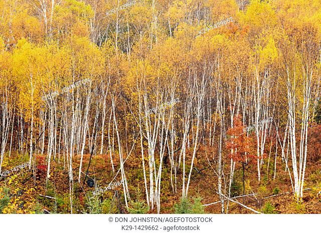 White birch trees on a hillside in late autumn Greater Sudbury Ontario