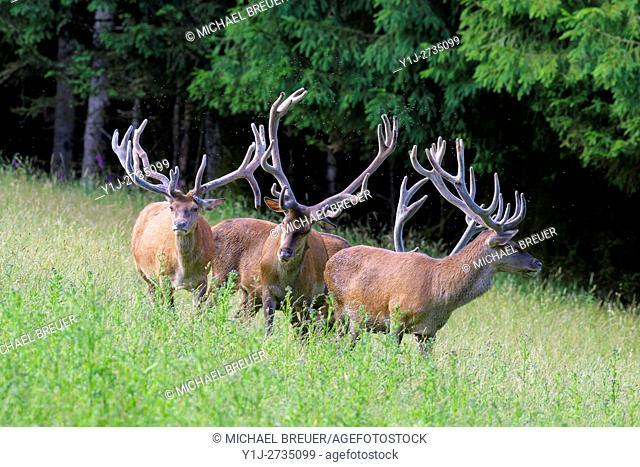 Red deers (Cervus elaphus) in Summer, Spessart, Hesse, Germany, Europe