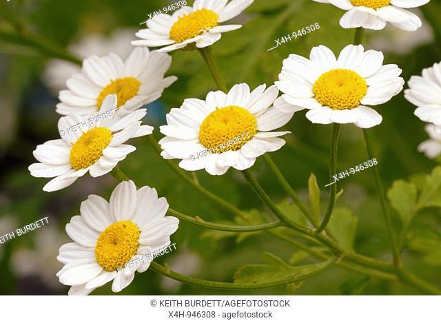 Feverfew flowers Tanacetum parthenium chrysanthemum, Wales