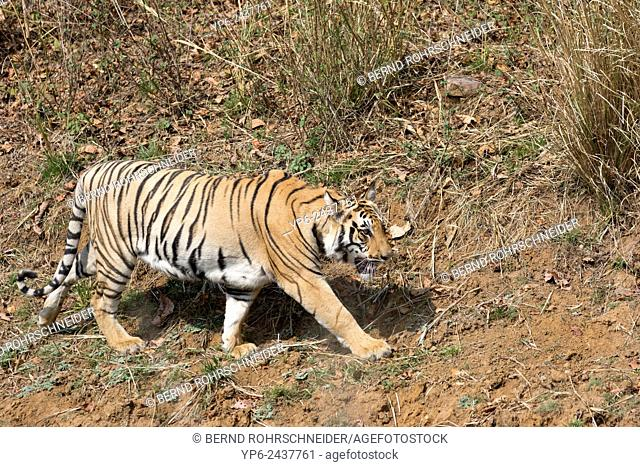 Tiger (Panthera tigris), Tadoba National Park, Maharashtra, India