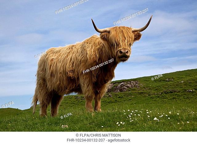 Highland Cattle, cow, standing in pasture, Glengorm, Isle of Mull, Inner Hebrides, Scotland
