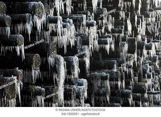 Ice Rain, icicles on tree branches, after sudden temperature drop in winter, Germany