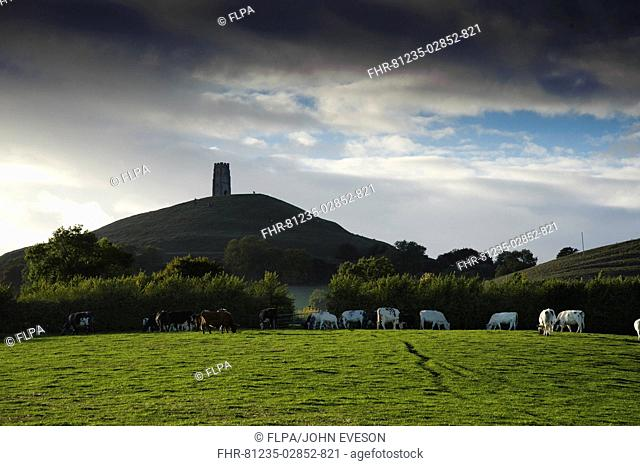 View of medieval church ruins on hill at evening, cattle herd grazing on pasture in foreground, Glastonbury Tor, Glastonbury, Somerset Levels, Somerset, England