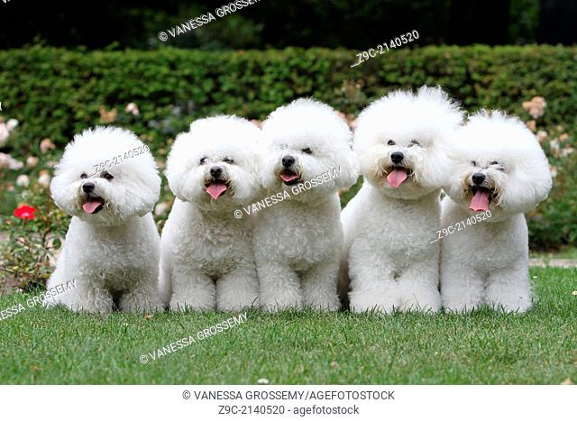 Dog Bichon Frise / Five adults sitting in a park