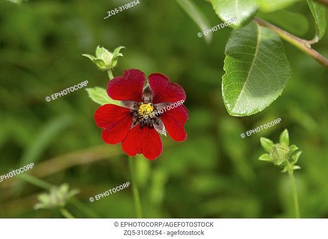 Himalayan Cinquefoil, Potentilla argyrophylla var. atrosanguinea, Hemkund Sahib, Uttarakhand, India