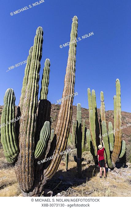 Photographer with Mexican giant cardon, Pachycereus pringlei, Isla San Esteban, Baja California, Mexico