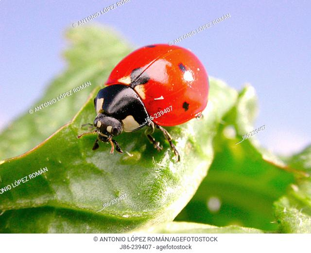 Ladybird (Coccinella septempunctata) is a beneficial insect to gardeners
