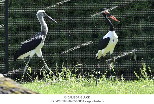 A chick, left, of saddle-billed stork or saddlebill (Ephippiorhynchus senegalensis) is seen in the Zlin Zoo, Czech Republic, on June 7, 2019