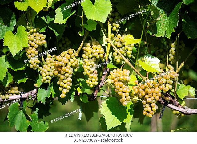 Green Grapes hanging in vineyard. Sudlersville Maryland USA