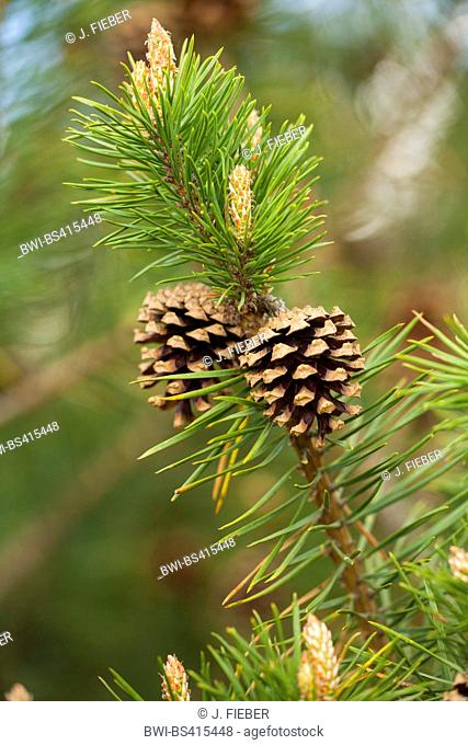 Scotch pine, Scots pine (Pinus sylvestris), branch with cones, Germany