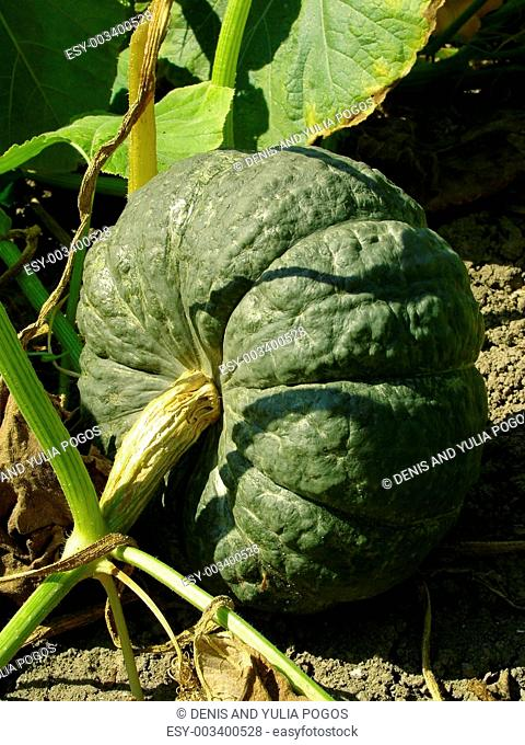 winter sweet pumpkin