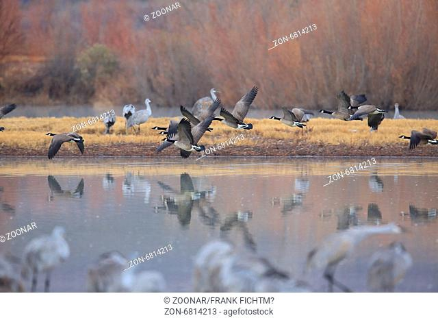 Canada Goose Bosque del Apache Wildlife Reserve
