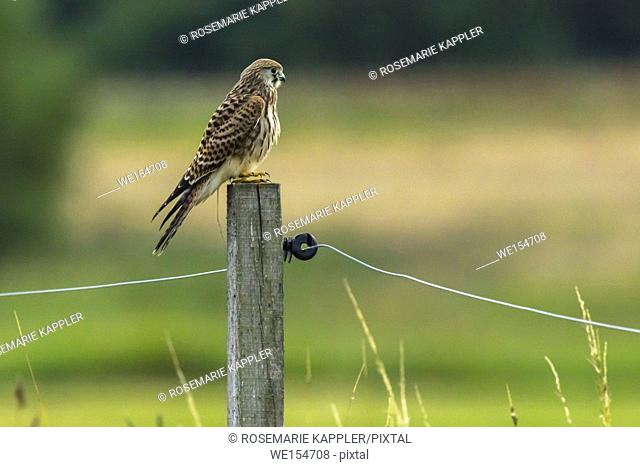 Germany, Saarland, Bexbach - A common krestel is searching for fodder